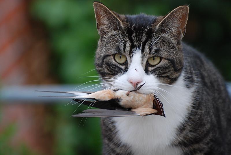 katzen fangen vögel