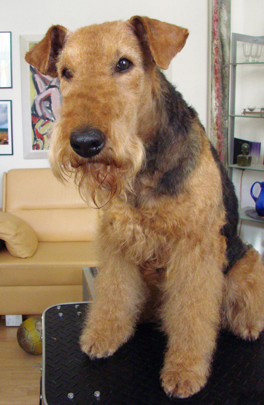 Airedale Terrier Basia