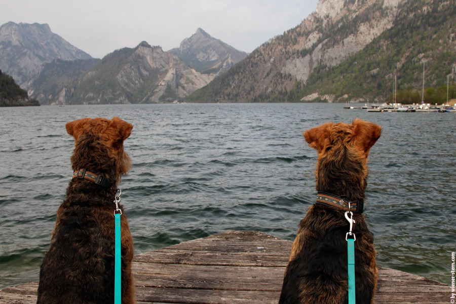Airedale Team am Traunsee