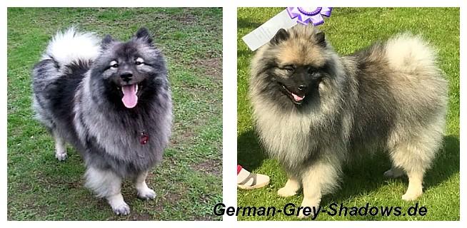 >>German Grey Shadow`s Indra & Silverfern Kees