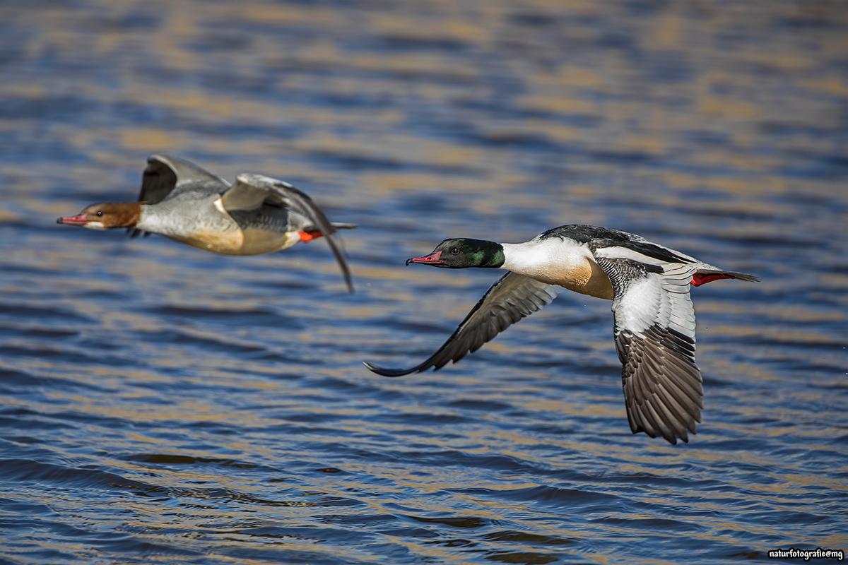 sammelthema vögel im flug  seite 80  dslrforum
