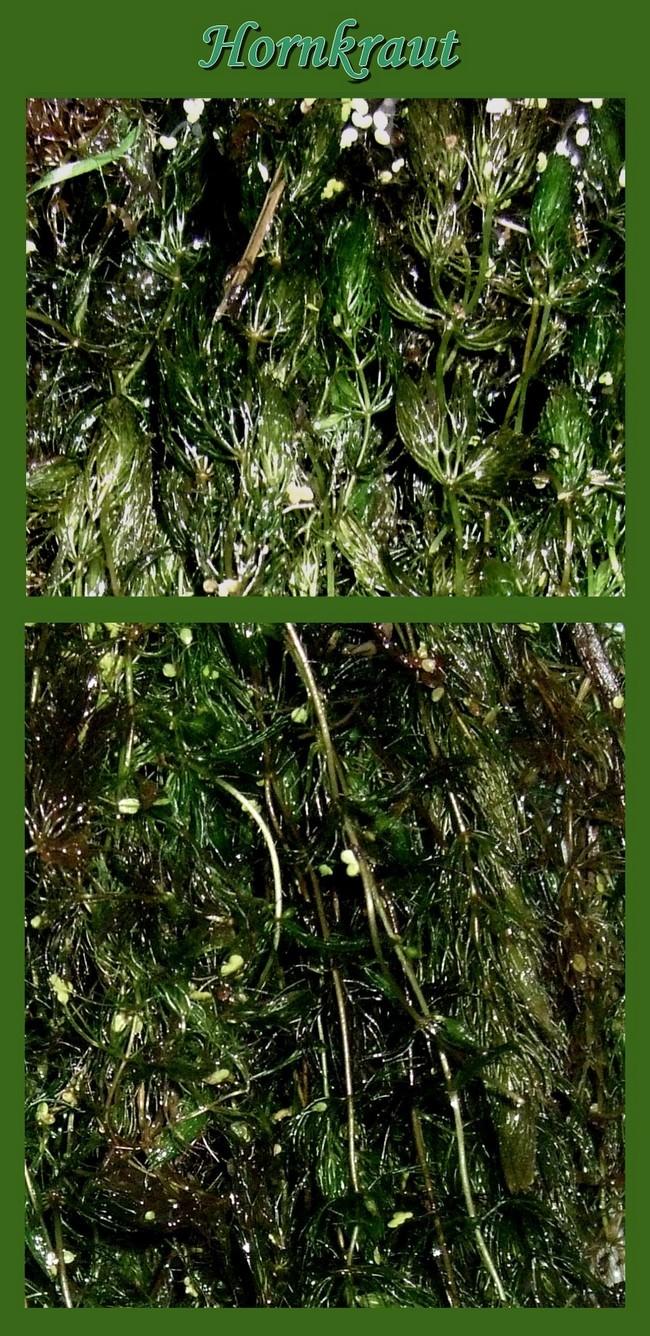 300 st teichpflanzen hornkraut wasserpflanzen gegen algen und nitrate im teich ebay. Black Bedroom Furniture Sets. Home Design Ideas