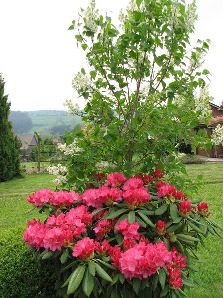 rhododendron ableger rhododendron vermehren mit einem ableger leicht gemacht rhododendron. Black Bedroom Furniture Sets. Home Design Ideas