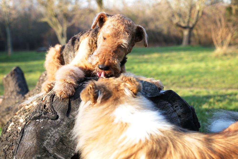 Airedale Terrier vom Wiener-Stern