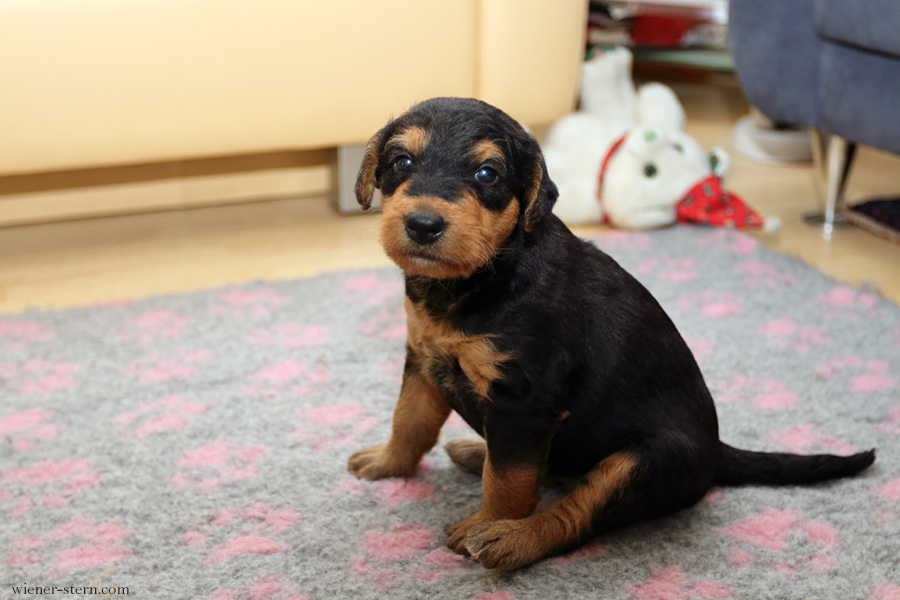 Airedale Terrier Welpe Mira