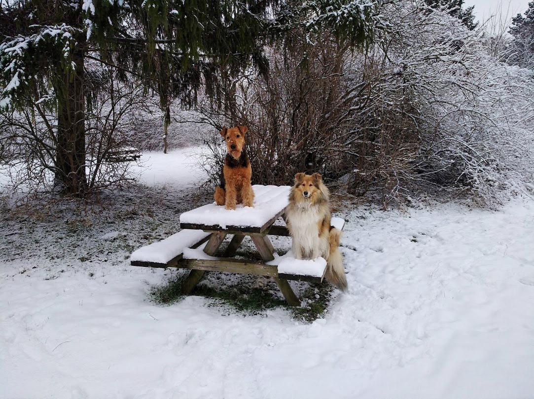 Collie Wien, Airedale Terrier Wien