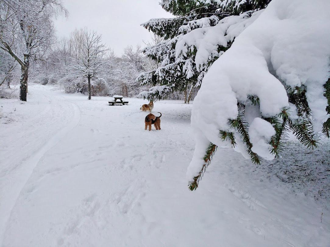 Airedale Terrier und Collie Wien