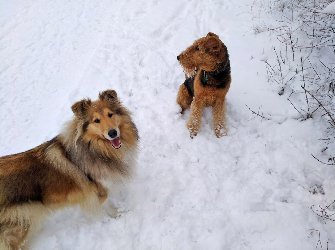 Collie und Airedale Terrier die besten Hunderassen
