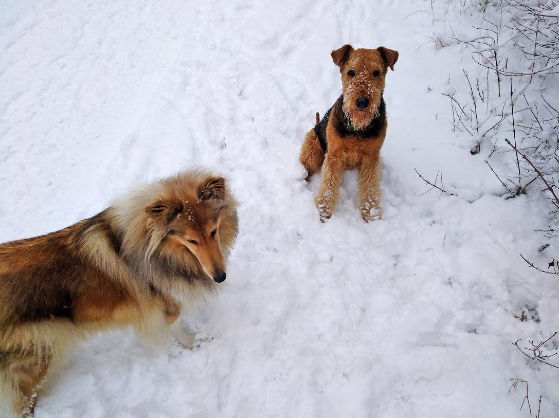 Collie Alisa Airedale Terrier Basia