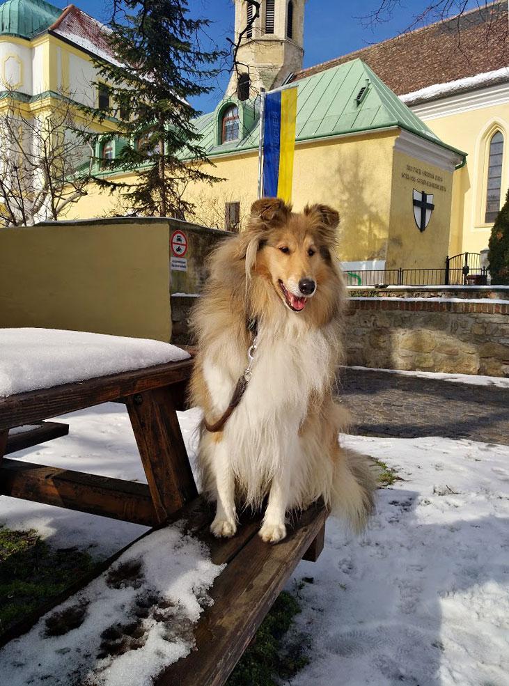 Wiener-Stern Hundezucht