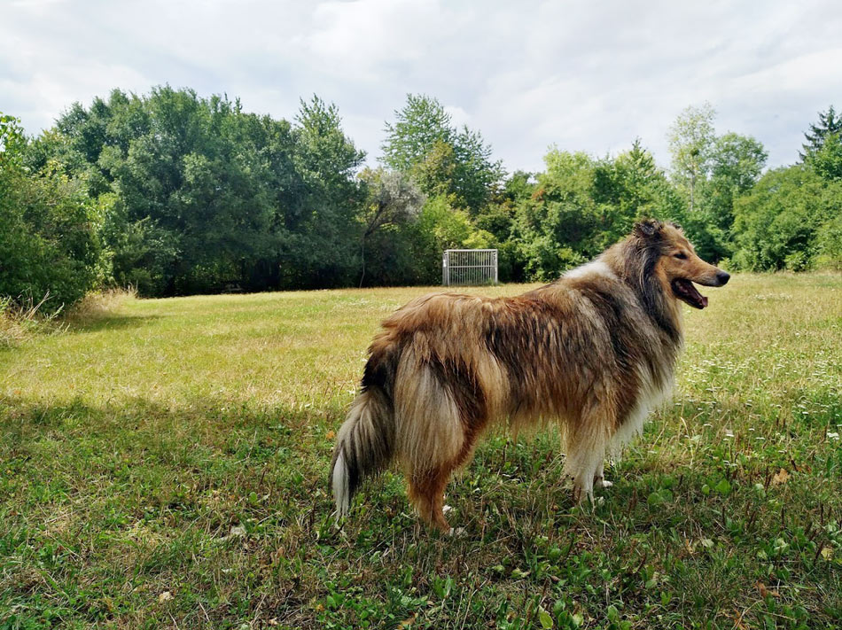 Collie Wien