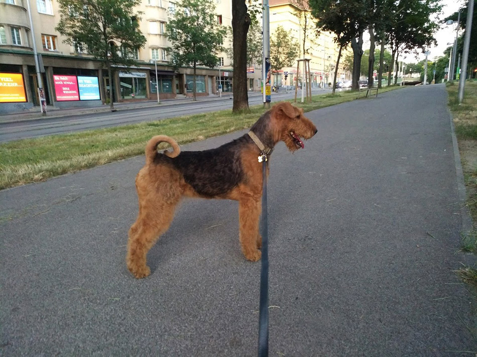 Airedale Terrier Rishy
