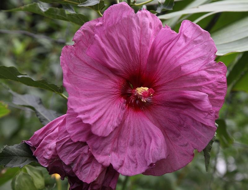 hibiskus hibiscus iii beliebte pflanzen erfahrungen. Black Bedroom Furniture Sets. Home Design Ideas