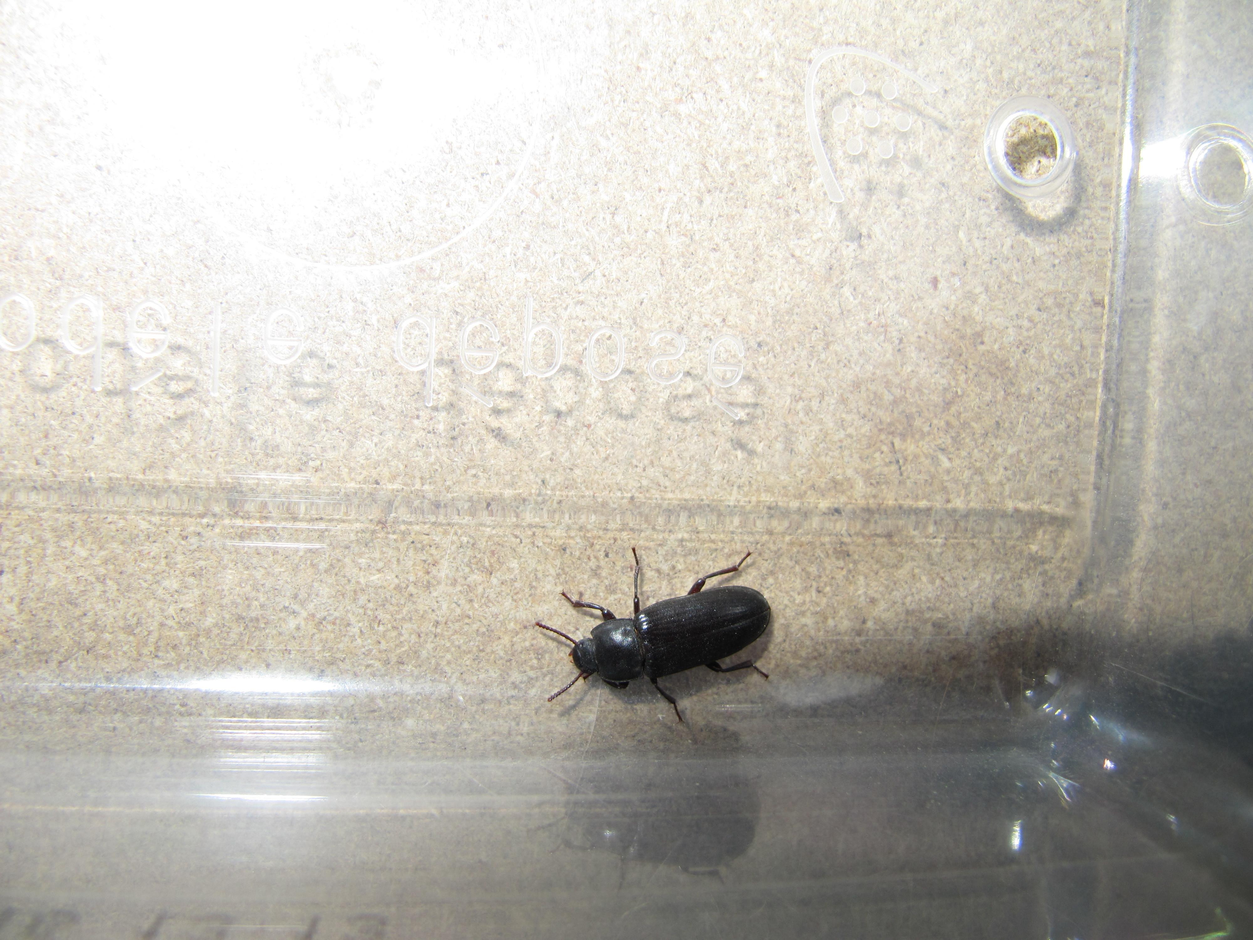 kammerjaeger.de • Thema anzeigen - schwarzer ca 1,5cm bis 2 cm ...
