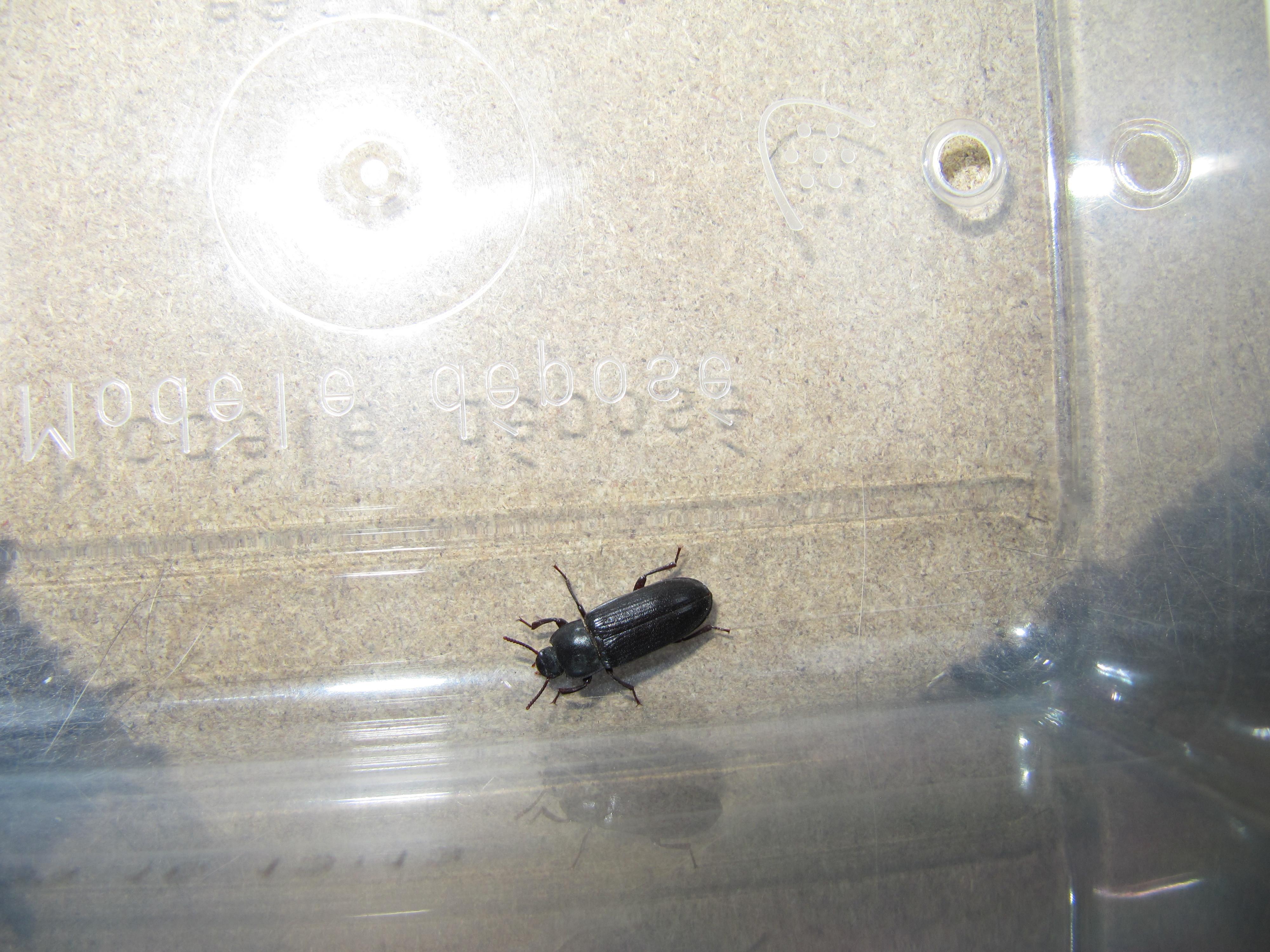 kleine schwarze käfer küche