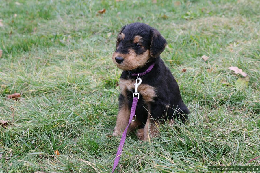 Airedale Terrier Welpe Allegro