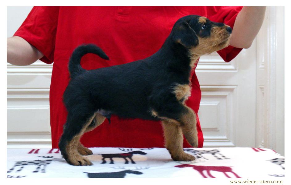 Airedale Terrier Welpe Wien