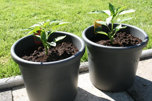 gesäte tomaten wachsen nicht