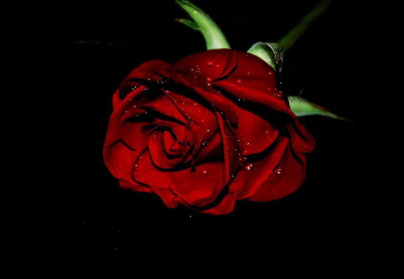 [Resim: kirmizi-gl-red-rose-f31oqh.png]