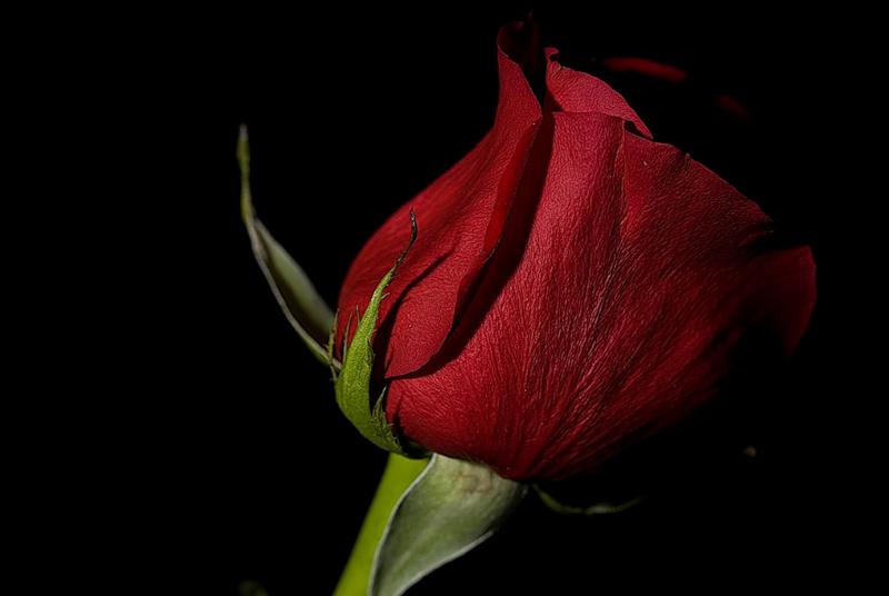 [Resim: kirmizi-gl-red-rose-f5vqak.png]