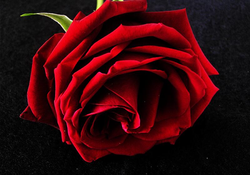 [Resim: kirmizi-gl-red-rose-f5zqmr.png]