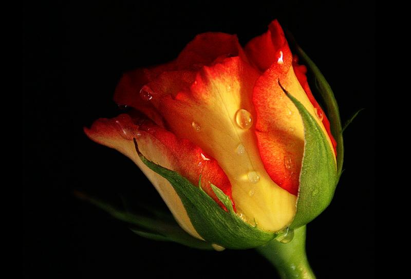 [Resim: kirmizi-gl-red-rose-f61qc7.png]