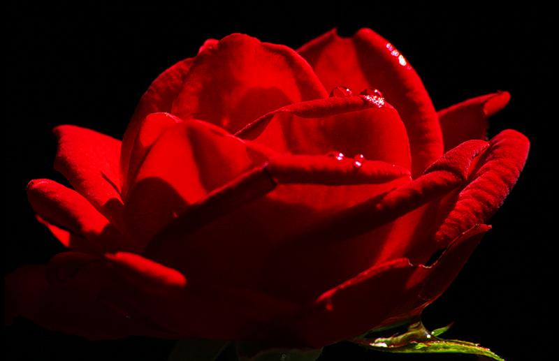 [Resim: kirmizi-gl-red-rose-f81pjj.png]