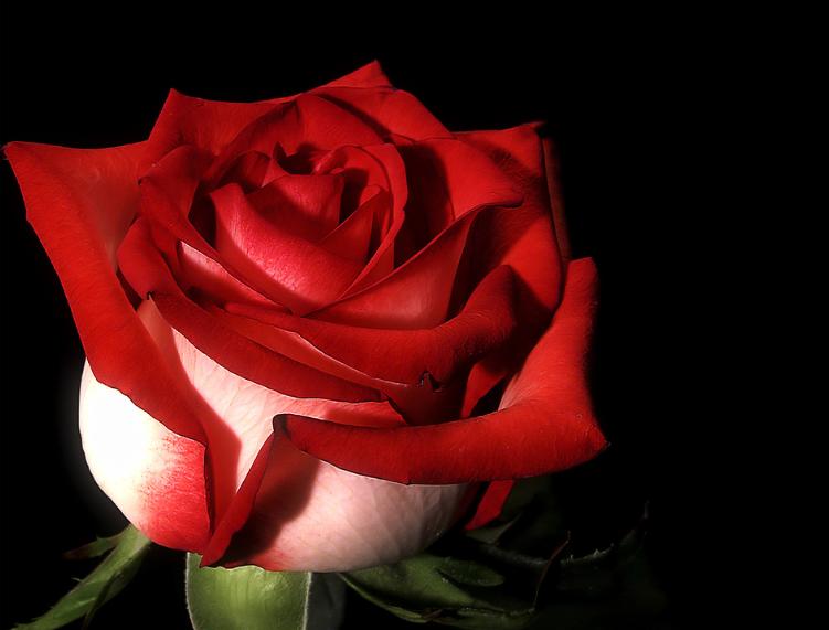 [Resim: kirmizi-gl-red-rose-f88ri8.png]