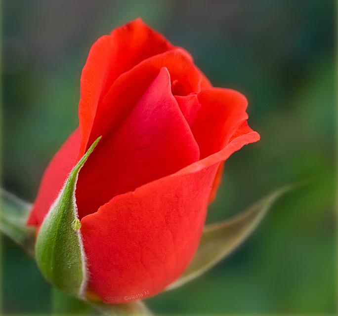 [Resim: kirmizi-gl-red-rose-f89oje.png]