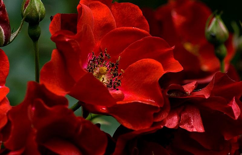 [Resim: kirmizi-gl-red-rose-fchsn7.png]