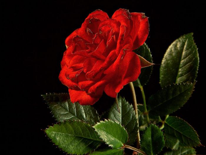 [Resim: kirmizi-gl-red-rose-fl1pc3.jpg]