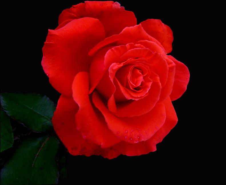 [Resim: kirmizi-gl-red-rose-flbrb2.png]