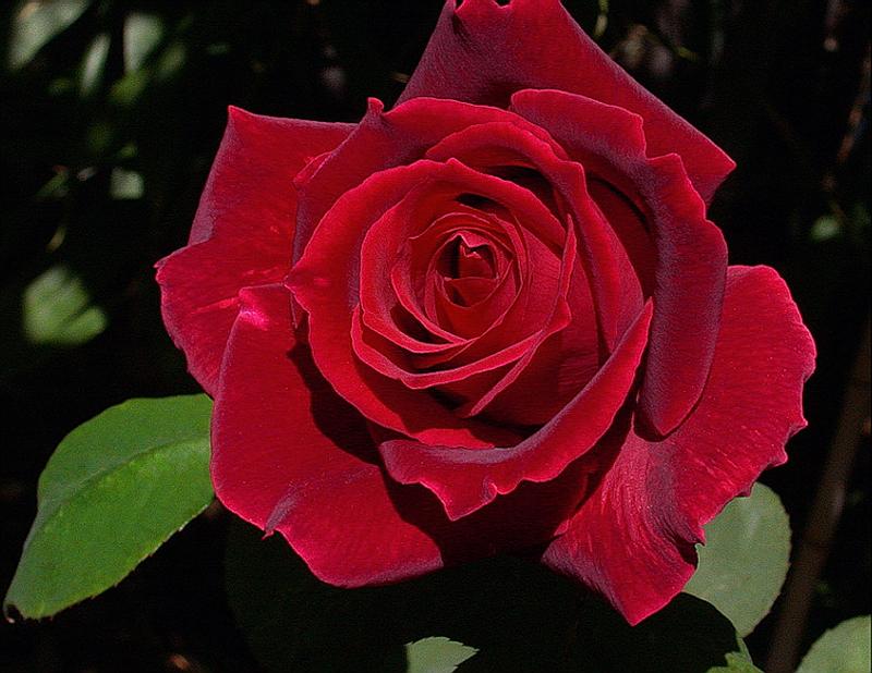 [Resim: kirmizi-gl-red-rose-fllqfr.png]