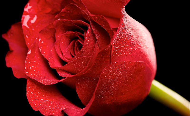 [Resim: kirmizi-gl-red-rose-flro9b.png]
