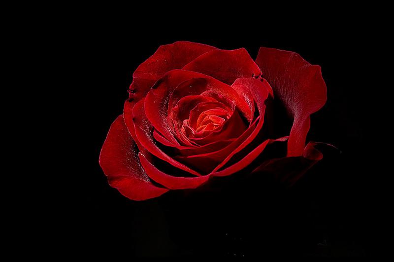[Resim: kirmizi-gl-red-rose-fpqrn4.png]