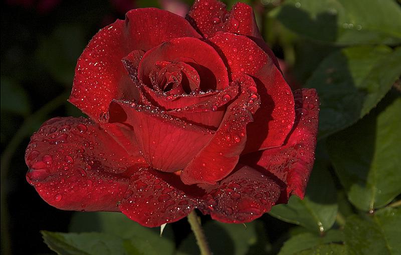 [Resim: kirmizi-gl-red-rose-fqaswl.png]