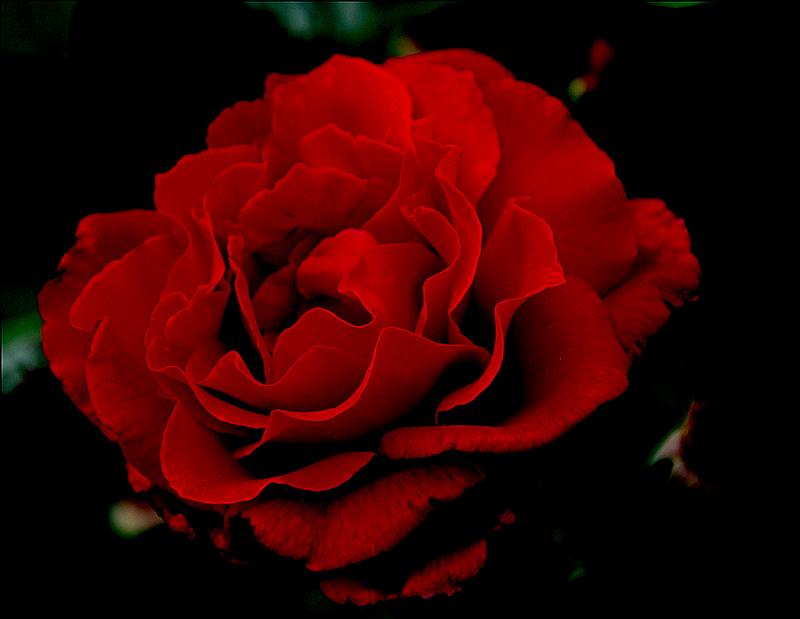 [Resim: kirmizi-gl-red-rose-fqes3m.png]