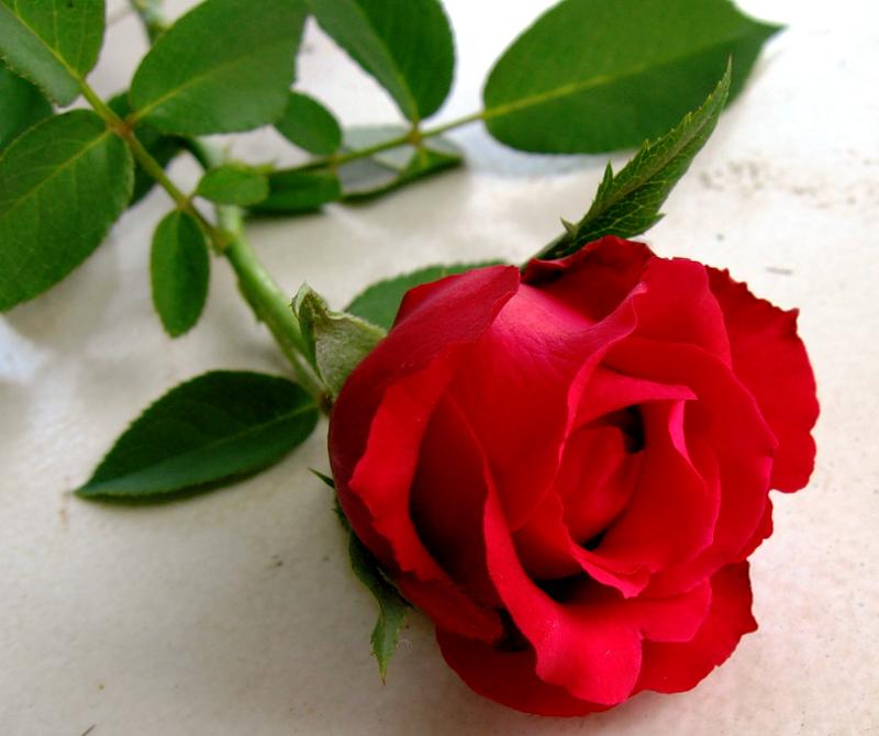 [Resim: kirmizi-gl-red-rose-fzzqh7.png]