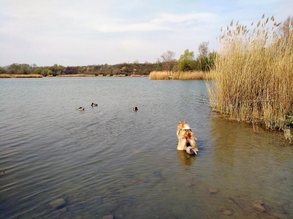 Airedale Terrier und Collie, Wien
