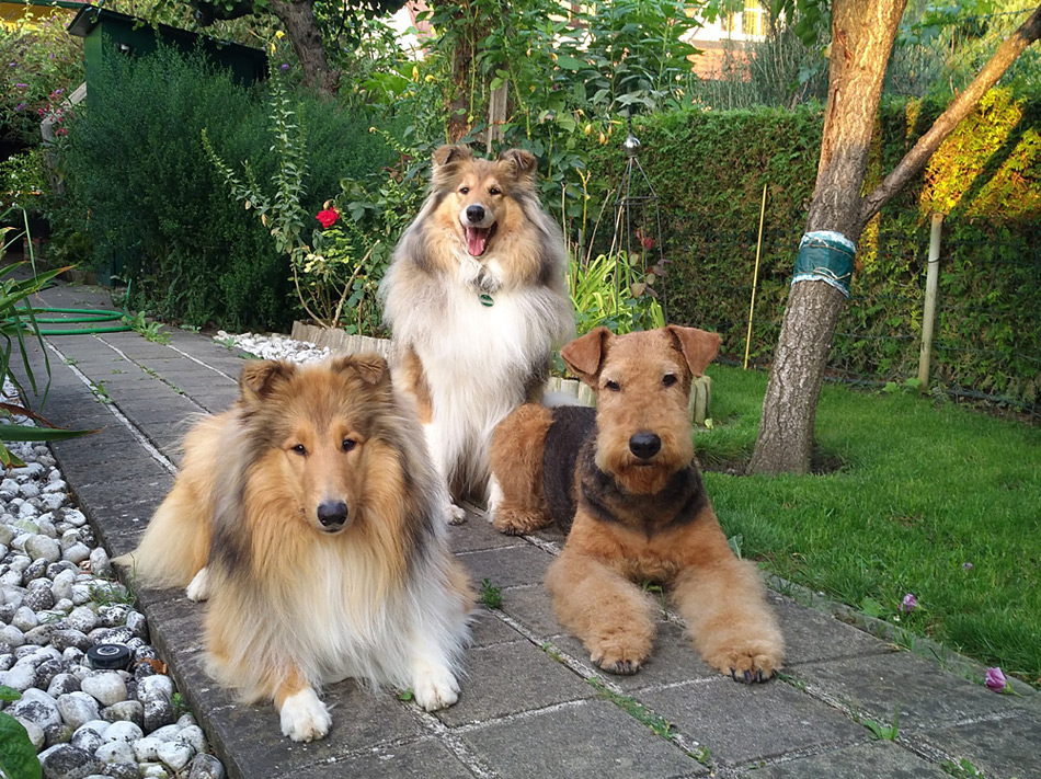 Airedale Terrier & Collie in Wien