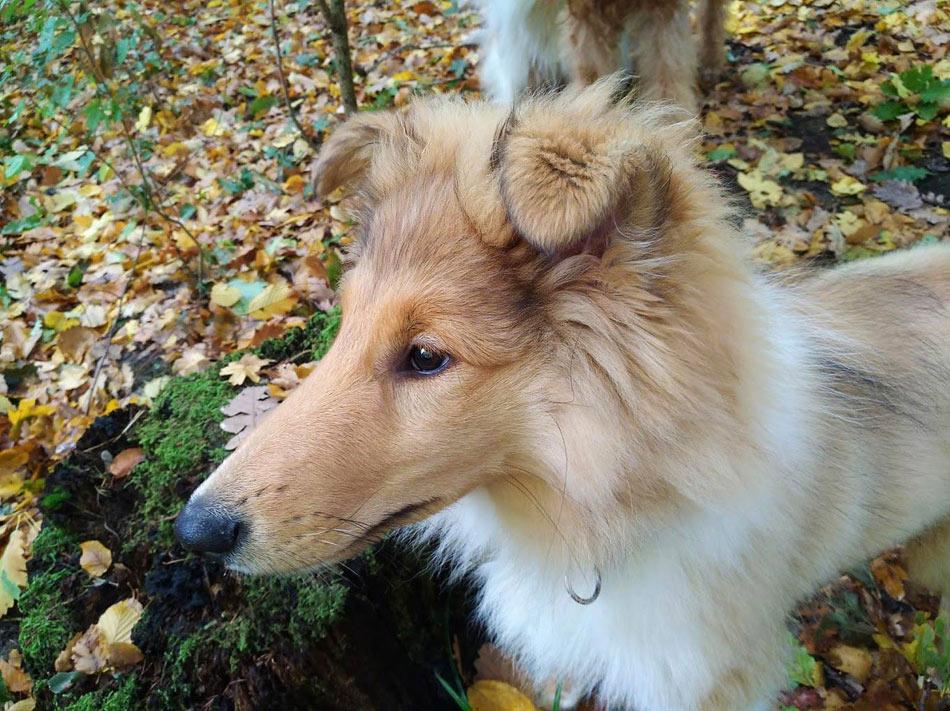 Airedale Terrier, Collie Zucht, Wien