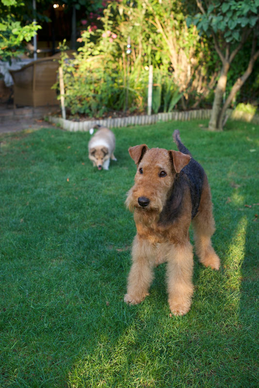 Airedale Terrier,  Collie Wien