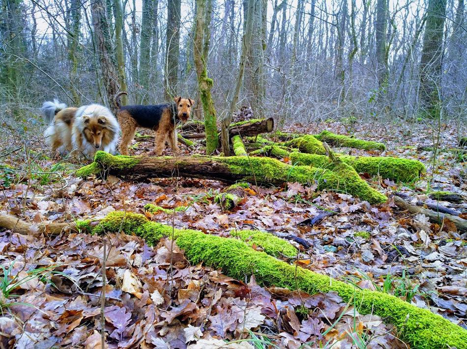 Collie und Airedale in Wienerwald