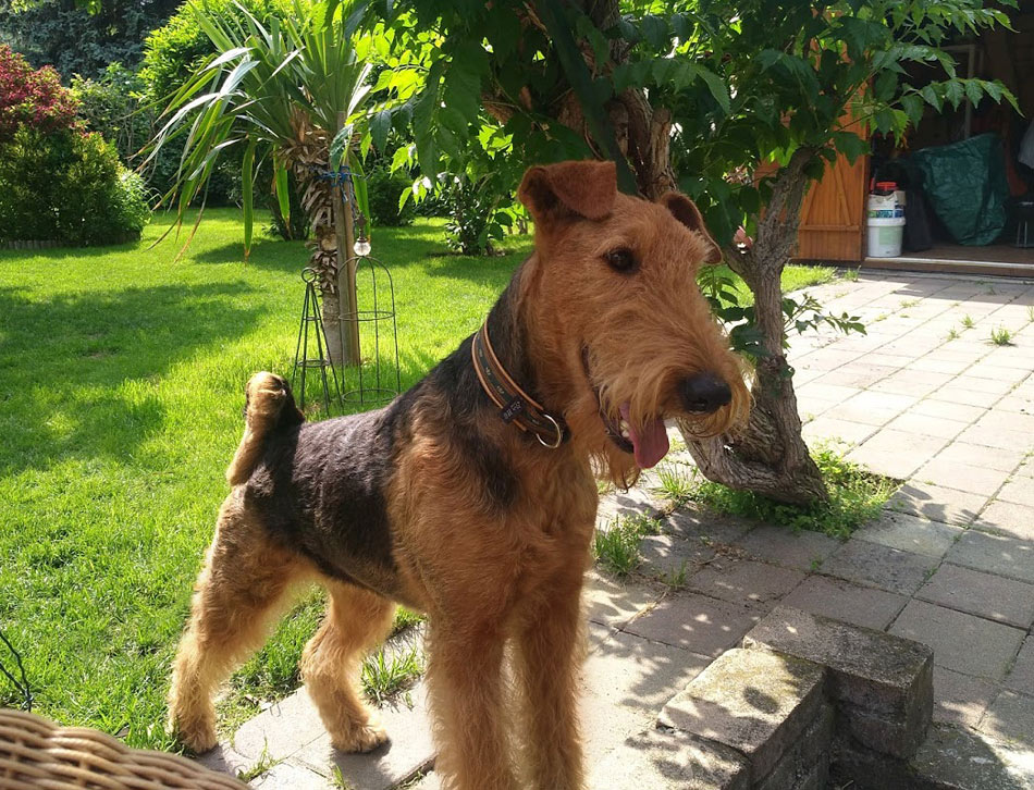 Airedale  Terrier Tina, Wien