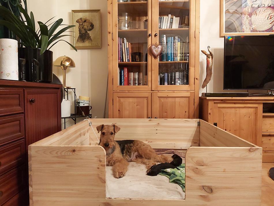 Airedale Terrier Welpen,