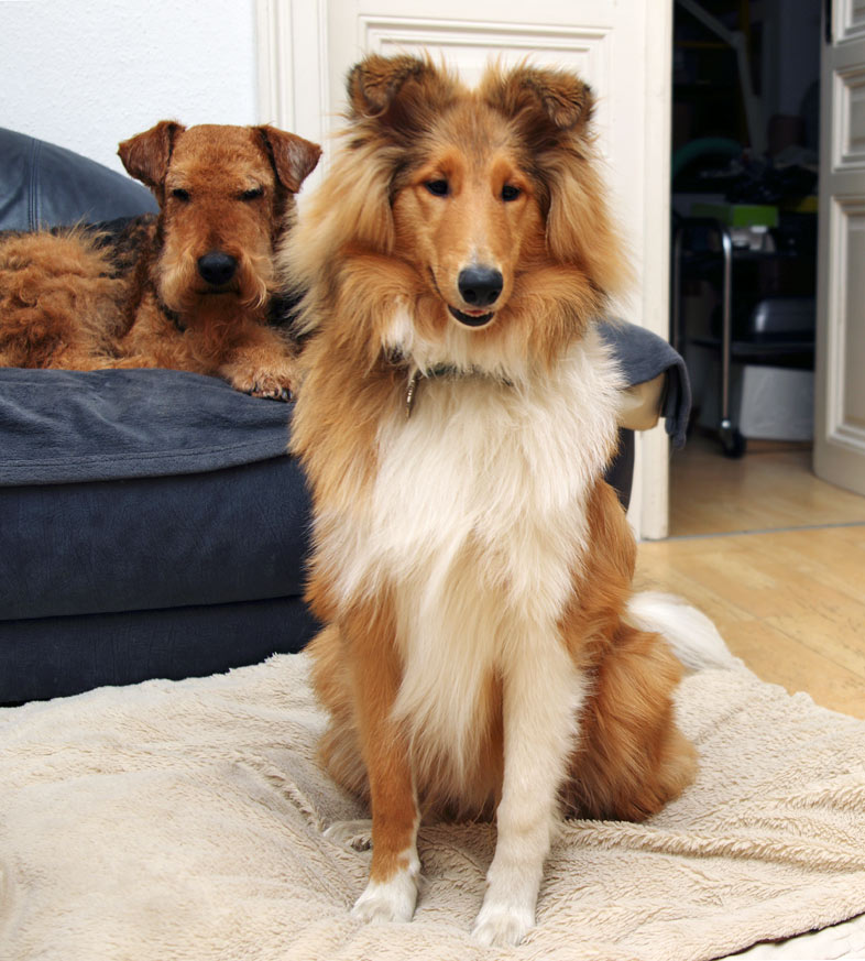 Airedale Terrier, Collie, Wien