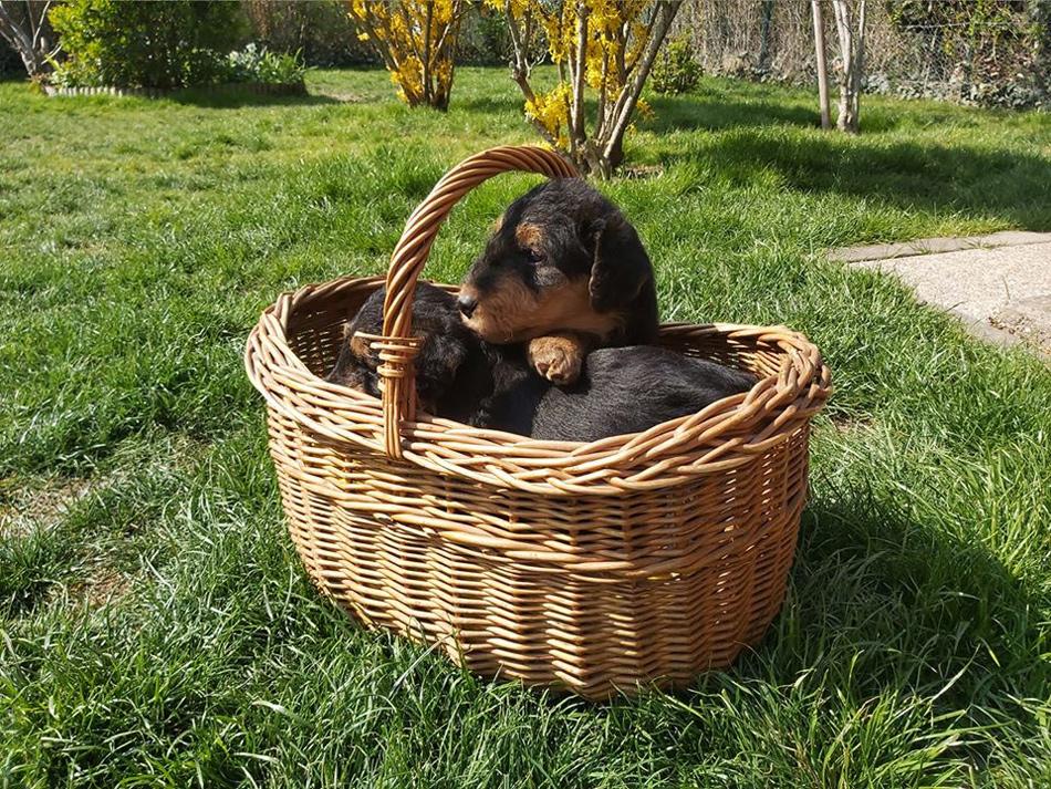 Airedale Terrier, Collie Zucht Austria