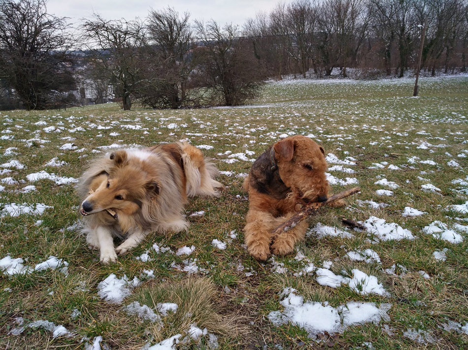Airedale Terrier und Collie Langhaar