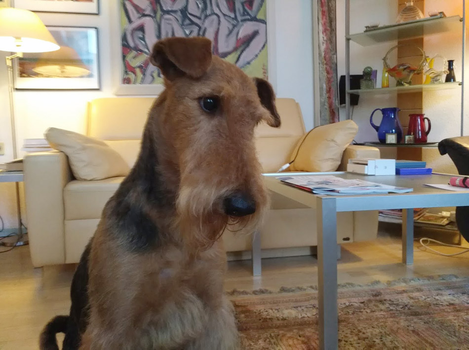 Airedale Terrier in Wien