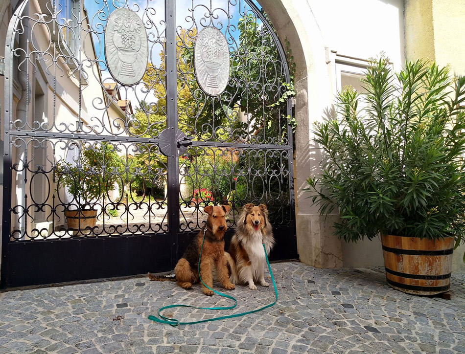 Airedale Terrier und Collie Rought